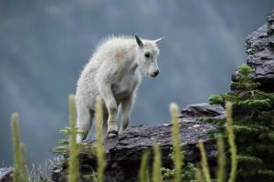 mountain-goat-1014245_640