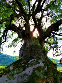 大樹 巨木
